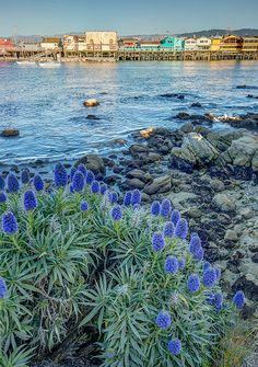 Echium Flowers at Fisherman's Wharf - Monterey, California Central California, California Dreamin', Monterey California, Fishermans Wharf Monterey, Golden State, River, Explore, Fisherman's Wharf, Places