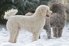"""STANDARD POODLE Without Ugly Poodle-cut #NoUglyPoodleCut ZIGGY (15"""") DLRC Miniature Poodle: prcd-PRA DNA clear, FN DNA clear, Hip-scored 3/4 = 7, BVA Eye tested clear"""