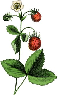 The Graphics Fairy: strawberry