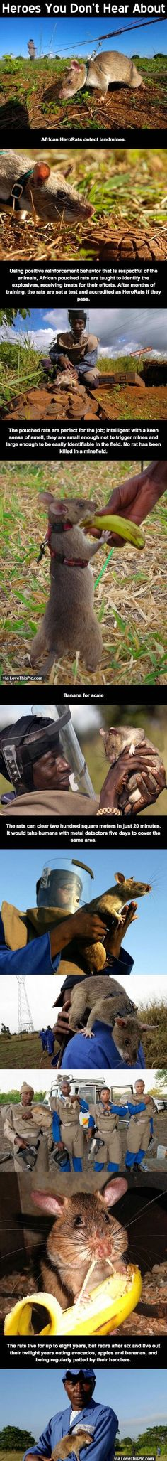 Heroes You Don't Hear About animals amazing animal interesting rats