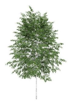 silver birch tree isolated on white background Stock Photo