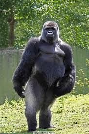 Photograph of a gorilla standing upright posing with his hand on hip, looking a bit camp. Gorilla Funny, Big Gorilla, Koko Gorilla, Cute Wild Animals, Zoo Animals, Animals Beautiful, Animals And Pets, Funny Animals, Primates