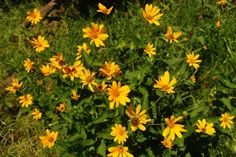 Ox Eye Sunflower Plant: How To Grow A False Sunflower