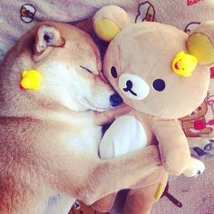 Love Shiba Inu's?? Learn more about the Shiba Inu breed @ myfirstshiba.com