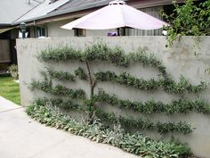 Espaliered olive tree- nice way to dress up a concrete or stucco wall.