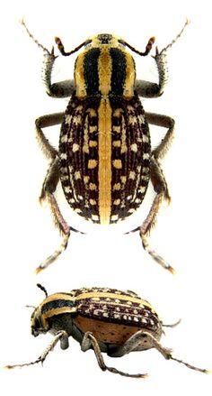 Phchynoteus sp. tenebr