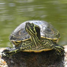 Photos of Yellow-bellied Slider Terrapin Yellow Bellied Slider, Red Eared Slider, Turtle Pond, Pet Turtle, Cute Turtles, Baby Turtles, Slider Turtle, Terrapin, Mundo Animal