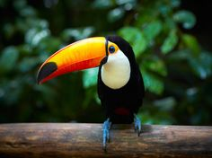 Photo of the Day: A toucan rests in the tropical forest of Brazil. Toco Toucan, Tropical Forest, Bird Species, Wildlife Photography, Royalty Free Images, Travel Photos, The Incredibles, Birds, Stock Photos