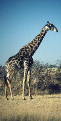 controversial environmental issues | giraffe in the Okavango delta Botswana