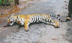 Tiger roadkill