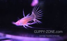 See more nice guppy www.guppy-zone.com