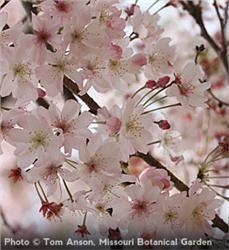 """Autumn Flowering Higan Cherry - Prunus subhirtella """"Autumnalis"""""""