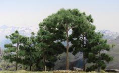 Rüya Tabirleri | Rüyada Çam Ağacı Görmek