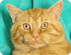 Renfrew, PA - Domestic Shorthair. Meet Fritz, a cat for adoption. Orange Or Red Age: Adult Sex: Male ID#: A23356807 Hair: Short http://www.adoptapet.com/pet/11247111-renfrew-pennsylvania-cat
