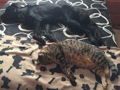 #Tom #Cat #Freya #Dog #Puppy # #LoveAnimals #CanaryIsland #GoldenRetriever #BlackGolden #BlackDog #MyMonster #Puppy #Pet #NapInMyBed #Nap #Twins