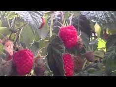 Cultivo de Framboesas - Frutos Silvestres