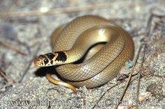 Dwarf Snake (Eirenis modestus)
