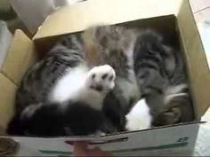 Funny Cat Best of Maru ... must see! -If you love Maru the cat.