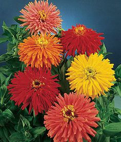 Zinnia Seeds ~ Giant Cactus ~ Large Feathery Petaled Blooms ~ 30+ Seeds ~ :) ~      .....     stores.ebay.ca/THESEEDHOUSE