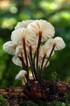 Marasmius rotula stuffed_mushrooms_with_cream_cheese, bread crumbs Mushroom Art, Mushroom Fungi, Mushroom Species, Wild Mushrooms, Stuffed Mushrooms, Growing Mushrooms, Mushroom Pictures, Plant Fungus, Miniature Fairy Gardens