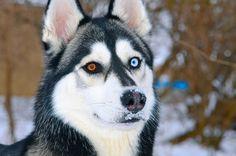 Siberian Husky - gorgeous