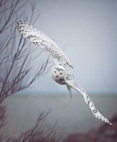 Another great snowy owl shot. Regal birds with a lot of pride and skill.