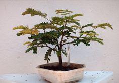Bonsai de Pau Brasil | por jemaambiental
