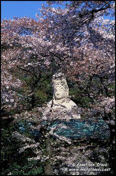 Statue of Ryozen Kannon hidden behind blooming cherry blossoms – sakura, Kyoto, Japan