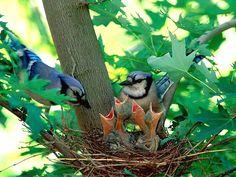 Blue jay and baby birds Pretty Birds, Love Birds, Beautiful Birds, Animals Beautiful, Beautiful Family, Baby Animals, Cute Animals, Mundo Animal, Backyard Birds