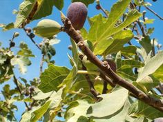California Mission Figs hanging on a tree