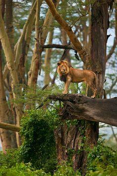 "funnywildlife: "" "" { African Lion } x Suha-Catman "" Happy #Caturday """