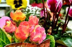 バラ咲きプリムラジュリアン