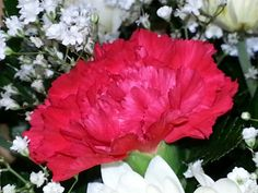 The perfect red carnation