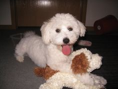 April! All Breeds Of Dogs, Dog Breeds, Bichons, Lap Dogs, Maltese, Shih Tzu, Puppy Love, Doggies, Puppies