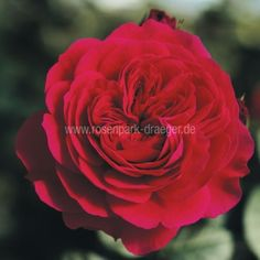 "Beetrose ""Red Leonardo da Vinci"" - ADR-Rose 40-60cm"