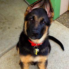 German shepherd puppy ♥
