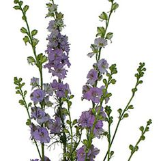 Add shape and definition to arrangements and centerpieces with Larkspur Lavender Flowers. Larkspur has a long stem covered in star-shaped, dainty blooms.