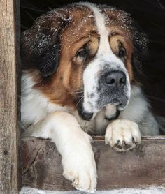 Saint Bernard Dogs, takes me back to my childhood sweet and loving dogs Heidi Ho and mush-mellow!