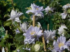 Available from the #GardeningExpress nursery - Clematis Dancing King.
