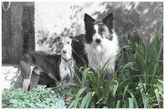 'Sniper and Ceaser' by gawiebooysen Boston Terrier, Dogs, Animals, Animales, Boston Terriers, Animaux, Doggies, Animais, Dog