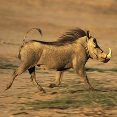 The warthog has a large head and a flat face, on which warty bumps protrude. Long, upward-curving tusks grow outward from the sides of its mouth. Perhaps this warthog is running from the next animal?