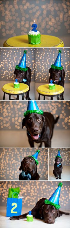 This week was a very special one, Marlin turned 2 on Wednesday. Two for labs is a magic age, so they say. It's when they are no longer puppies, they slow down blah blah ….personally I don't really believe it. Baci never slowed down after he turned 2, or ever. Marlin on the other hand, …