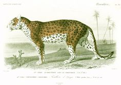 Panthera pardus. ORIGINAL ENGRAVING, NOT A COPY.  This print is taken from the Dictionnaire Universel d'Histoire Naturelle, a publication directed by the french naturalist ...