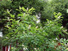 Tankar om och från min trädgård.: Maackia amurensis - Frösådd.