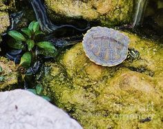 baby slider turtle in the everglades