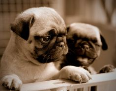 Comedy and drama pug puppies