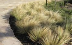 Mexican feather grass - sun