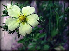 Flower Of Hearts - Copyright 2011 Dawn Mercer, Canadian Artist