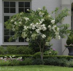 Acoma - Dwarf White Weeping Crape Myrtle.  One of the most popular in Texas.