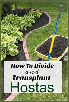 How To Divide & Transplant Hostas - Separating large hosta plants is the perfect way to get free plants for your garden, but the trick is knowing how to divide and transplant hostas correctly! gardening tips, growing hostas, budget gardening Hosta Plants, Shade Plants, Garden Plants, Garden Mulch, Transplanting Plants, Garden Edging, Herb Garden, Garden Art, Backyard Plants
